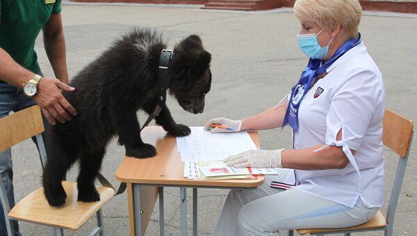 Медвежонка привели на участок для голосования в Алтайском крае - Sputnik Беларусь
